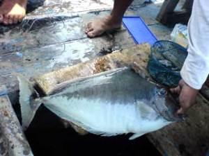Ikan Jablay